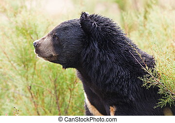 Tibetan Bear - Tibeatan Bear in nature