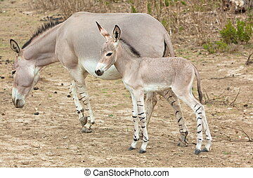 Somali wild ass baby and mother - somali wild ass baby and...