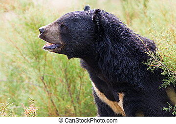 Black bear roaring - black bear roaring in nature