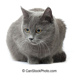 Russian Blue - Beautiful cat breed Russian Blue on a white...