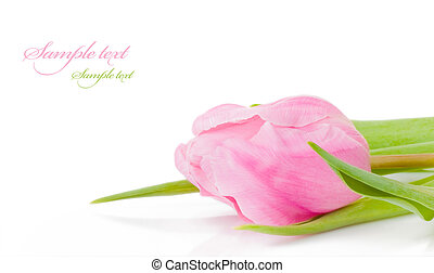 pink tulip - beautiful fresh pink tulip for your design