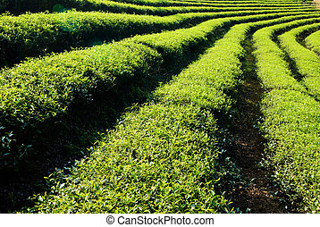 Row of tea trees in farm. Chinese tea farm, Asia.