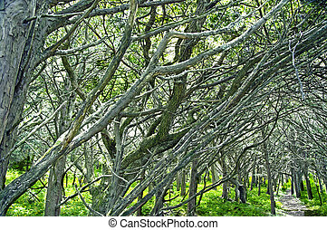 millennial yew grove on the island petrov in the ??Japan Sea...