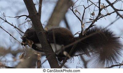 Red Squirrel - Eurasian Red Squirrel Sciurus Vulgaris on a...