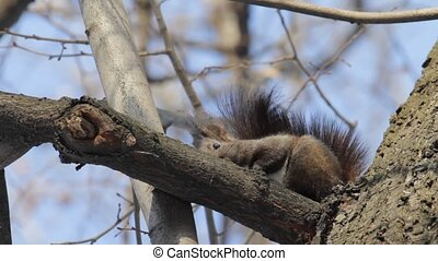 """Red Squirrel - Eurasian Red Squirrel (\""""Sciurus Vulgaris\"""")..."""