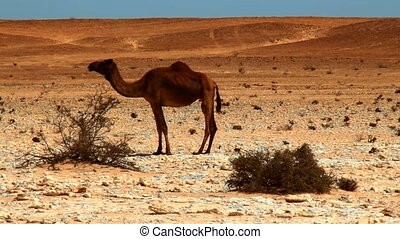Camel eating leaves from a bush in the desert,video HD 1080
