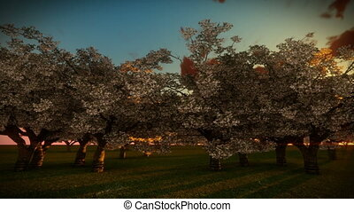 Cherry Trees and Sunrise Time Lapse