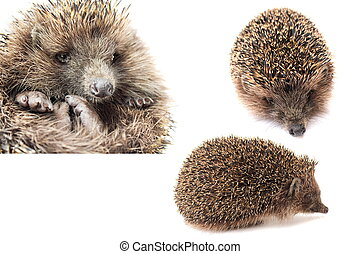 hedgehog, hedgehogs - hedgehogs wild rodent isolated on...