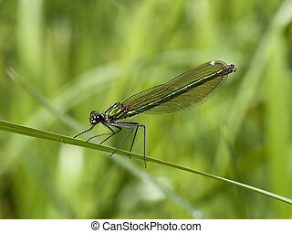 banded,  agrion,  Damselfly, hembra