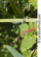 spider and damselfly - a garden spider with a common blue...
