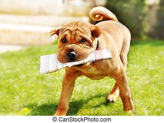 Shar Pei dog with newspapers - adorable shar pei dog...