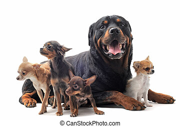 rottweiler and chihuahuas - portrait of a purebred...