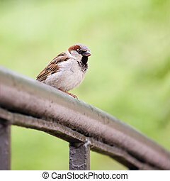 Sparrow Bird (Passer domesticus) On Bridge Rail Closeup -...
