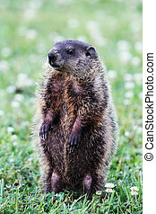 Groundhog - A young groundhog pup, also known as a...