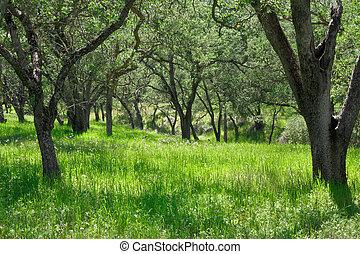 Oak Tree Glade - A grassy meadow with oak trees in...