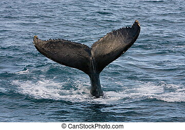 Humpback Whale - Humpback jubarte Whale of abrolhos islands...