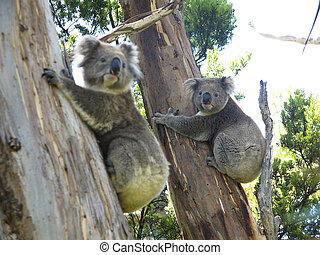 Koala on tree - Koala, Phascolarctos cinereus, in its...