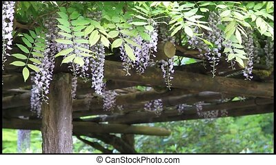 Wisteria Flowers on Pergola - Wisteria Flowers Blooming on...