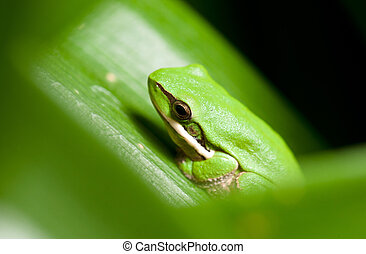 dwarf green tree frog litoria fallax sitting in a plant