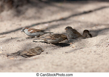 The flock of sparrows