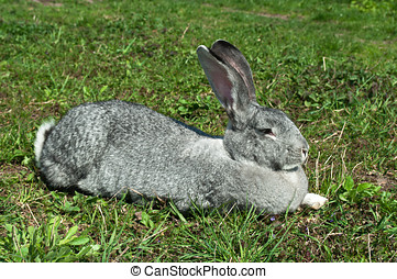 big mammal rabbit