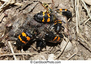 Enterrar, escarabajos, (Nicrophorus, orbicollis)