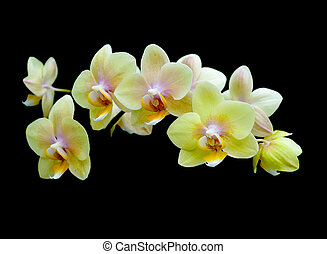 yellow orchids on a black background