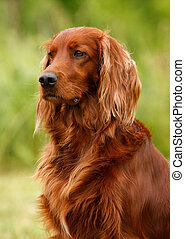 setter's portrait - Portrait of a irish red and white...