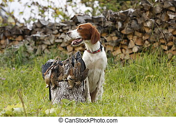 irish setter with trophies