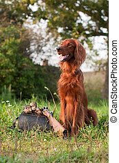 irish setter with trophies - A setter siting next on a grass...