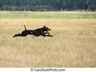 hunting with a dog - A gun dog on field tests, horizontal