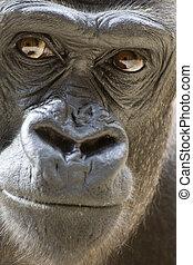 Gorilla Portrait - Gorilla male portrait (concentrated view)
