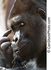 Think think think (gorilla) - Gorilla is thinking (or...