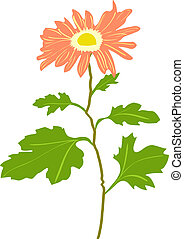 Illustration of Chrysanthemum