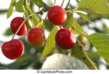 cherries - Red and sweet cherries on a branch