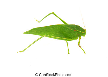 Green Katydid - Angular-Winged green katydid,Isolated on...