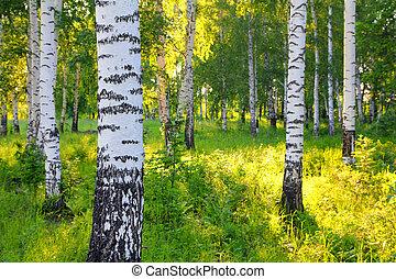 summer birch woods