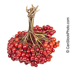 Viburnum - Sheaf of ripe Viburnum on a white background