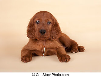 setter puppy - The puppy of a setter is removed on a beige...