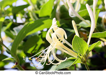 Honeysuckle flower, closeup shot, like nice background.