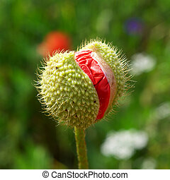 Poppy bud Element of nature composition