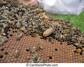 Queen cell and woker bee brood - Honeybee queen cell on a...