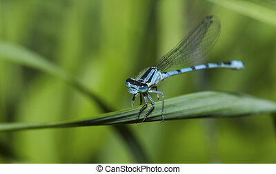 Common Blue Damselfly perched on a leaf