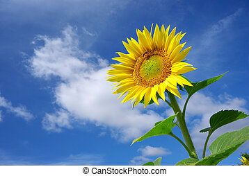 Sunflower on sky background Nature composition