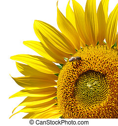 Sunflower - Big sunflower and sky Nature composition