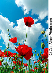 Poppys and sky. Nature composition.