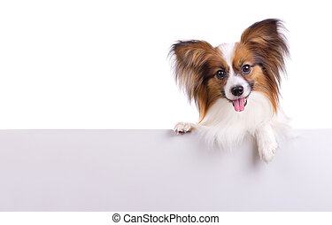 Papillon dog - Puppy of breed papillon on a white background