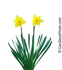 Two narcissuses. Element of isolated design.