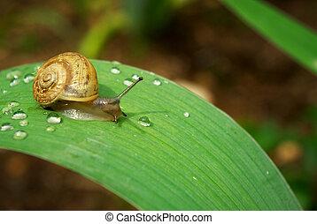 Racer - Snail on leaf. Nature composition.
