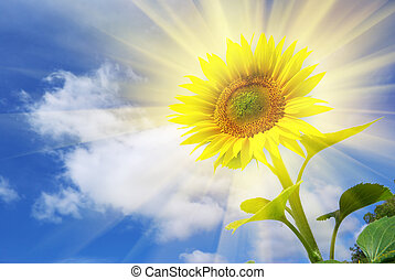 Sunflower on the sky background. Element of design.
